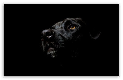 Black Dog HD wallpaper for Wide 16:10 5:3 Widescreen WHXGA WQXGA WUXGA WXGA WGA ; HD 16:9 High Definition WQHD QWXGA 1080p 900p 720p QHD nHD ; Standard 4:3 5:4 3:2 Fullscreen UXGA XGA SVGA QSXGA SXGA DVGA HVGA HQVGA devices ( Apple PowerBook G4 iPhone 4 3G 3GS iPod Touch ) ; Tablet 1:1 ; iPad 1/2/Mini ; Mobile 4:3 5:3 3:2 16:9 5:4 - UXGA XGA SVGA WGA DVGA HVGA HQVGA devices ( Apple PowerBook G4 iPhone 4 3G 3GS iPod Touch ) WQHD QWXGA 1080p 900p 720p QHD nHD QSXGA SXGA ;