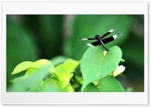 Black Dragonfly Ultra HD Wallpaper for 4K UHD Widescreen desktop, tablet & smartphone