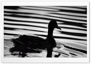 Black Duck HD Wide Wallpaper for Widescreen