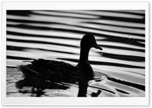 Black Duck Ultra HD Wallpaper for 4K UHD Widescreen desktop, tablet & smartphone