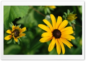 Black Eyed Flowers HD Wide Wallpaper for Widescreen