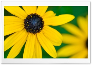 Black Eyed Susan HD Wide Wallpaper for 4K UHD Widescreen desktop & smartphone