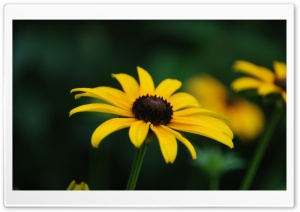 Black Eyed Susan Bloom Stage HD Wide Wallpaper for 4K UHD Widescreen desktop & smartphone