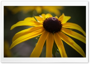Black Eyed Susan Flower HD Wide Wallpaper for 4K UHD Widescreen desktop & smartphone