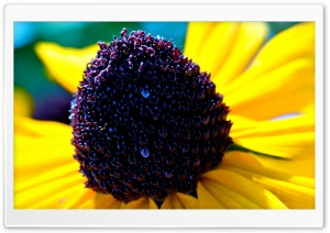 Black-eyed Susan Flower Macro HD Wide Wallpaper for Widescreen