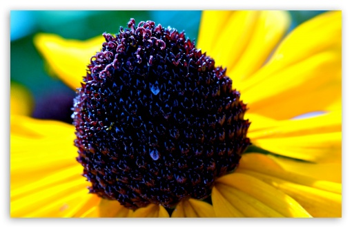 Black-eyed Susan Flower Macro HD wallpaper for Wide 16:10 5:3 Widescreen WHXGA WQXGA WUXGA WXGA WGA ; HD 16:9 High Definition WQHD QWXGA 1080p 900p 720p QHD nHD ; Mobile 5:3 16:9 - WGA WQHD QWXGA 1080p 900p 720p QHD nHD ;