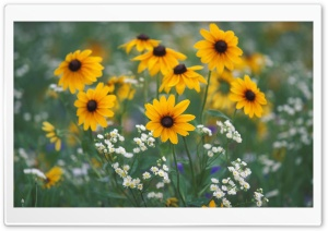 Black Eyed Susans And Daisy Fleabane Kentucky HD Wide Wallpaper for 4K UHD Widescreen desktop & smartphone