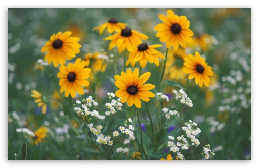 Black Eyed Susans And Daisy Fleabane Kentucky UltraHD Wallpaper for Wide 16:10 5:3 Widescreen WHXGA WQXGA WUXGA WXGA WGA ; 8K UHD TV 16:9 Ultra High Definition 2160p 1440p 1080p 900p 720p ; Standard 4:3 5:4 3:2 Fullscreen UXGA XGA SVGA QSXGA SXGA DVGA HVGA HQVGA ( Apple PowerBook G4 iPhone 4 3G 3GS iPod Touch ) ; Tablet 1:1 ; iPad 1/2/Mini ; Mobile 4:3 5:3 3:2 16:9 5:4 - UXGA XGA SVGA WGA DVGA HVGA HQVGA ( Apple PowerBook G4 iPhone 4 3G 3GS iPod Touch ) 2160p 1440p 1080p 900p 720p QSXGA SXGA ;
