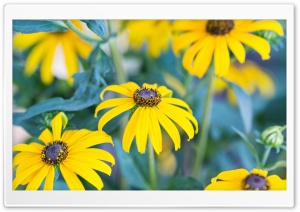 Black Eyed Susans Flowers HD Wide Wallpaper for 4K UHD Widescreen desktop & smartphone
