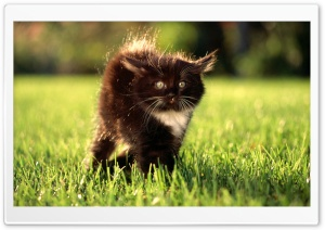 Black Fluffy Kitty HD Wide Wallpaper for Widescreen