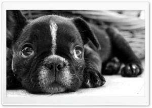 Black French Bulldog Puppy HD Wide Wallpaper for Widescreen