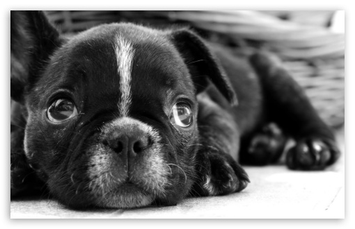 Black French Bulldog Puppy ❤ 4K UHD Wallpaper for Wide 16:10 5:3 Widescreen WHXGA WQXGA WUXGA WXGA WGA ; 4K UHD 16:9 Ultra High Definition 2160p 1440p 1080p 900p 720p ; Standard 4:3 5:4 3:2 Fullscreen UXGA XGA SVGA QSXGA SXGA DVGA HVGA HQVGA ( Apple PowerBook G4 iPhone 4 3G 3GS iPod Touch ) ; iPad 1/2/Mini ; Mobile 4:3 5:3 3:2 16:9 5:4 - UXGA XGA SVGA WGA DVGA HVGA HQVGA ( Apple PowerBook G4 iPhone 4 3G 3GS iPod Touch ) 2160p 1440p 1080p 900p 720p QSXGA SXGA ;