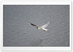 Black-headed Gull in Flight HD Wide Wallpaper for Widescreen