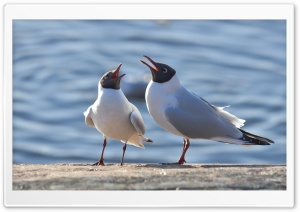 Black Headed Gulls HD Wide Wallpaper for Widescreen