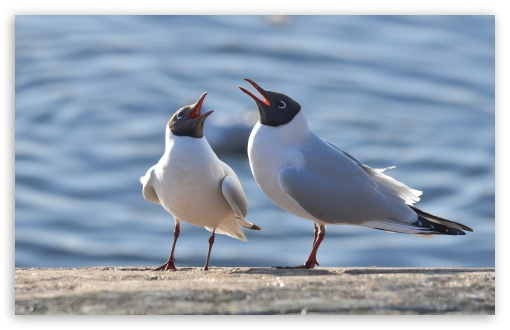Black Headed Gulls ❤ 4K UHD Wallpaper for Wide 16:10 5:3 Widescreen WHXGA WQXGA WUXGA WXGA WGA ; 4K UHD 16:9 Ultra High Definition 2160p 1440p 1080p 900p 720p ; UHD 16:9 2160p 1440p 1080p 900p 720p ; Standard 4:3 5:4 3:2 Fullscreen UXGA XGA SVGA QSXGA SXGA DVGA HVGA HQVGA ( Apple PowerBook G4 iPhone 4 3G 3GS iPod Touch ) ; iPad 1/2/Mini ; Mobile 4:3 5:3 3:2 16:9 5:4 - UXGA XGA SVGA WGA DVGA HVGA HQVGA ( Apple PowerBook G4 iPhone 4 3G 3GS iPod Touch ) 2160p 1440p 1080p 900p 720p QSXGA SXGA ;