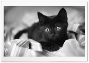 Black Kitten HD Wide Wallpaper for Widescreen