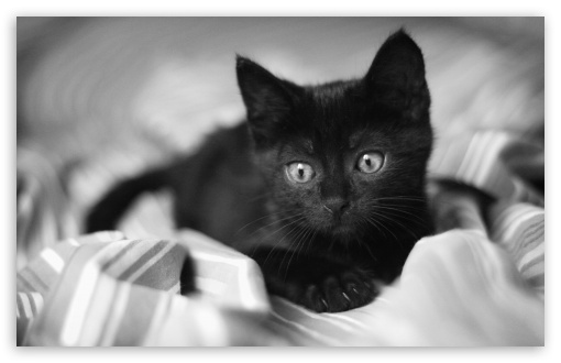 Black Kitten HD wallpaper for Wide 16:10 5:3 Widescreen WHXGA WQXGA WUXGA WXGA WGA ; HD 16:9 High Definition WQHD QWXGA 1080p 900p 720p QHD nHD ; UHD 16:9 WQHD QWXGA 1080p 900p 720p QHD nHD ; Standard 4:3 5:4 3:2 Fullscreen UXGA XGA SVGA QSXGA SXGA DVGA HVGA HQVGA devices ( Apple PowerBook G4 iPhone 4 3G 3GS iPod Touch ) ; Tablet 1:1 ; iPad 1/2/Mini ; Mobile 4:3 5:3 3:2 16:9 5:4 - UXGA XGA SVGA WGA DVGA HVGA HQVGA devices ( Apple PowerBook G4 iPhone 4 3G 3GS iPod Touch ) WQHD QWXGA 1080p 900p 720p QHD nHD QSXGA SXGA ;