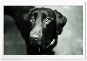 Black Lab HD Wide Wallpaper for Widescreen