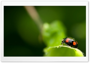 Black Ladybug Macro HD Wide Wallpaper for 4K UHD Widescreen desktop & smartphone