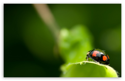 Black Ladybug Macro ❤ 4K UHD Wallpaper for Wide 16:10 5:3 Widescreen WHXGA WQXGA WUXGA WXGA WGA ; 4K UHD 16:9 Ultra High Definition 2160p 1440p 1080p 900p 720p ; Standard 4:3 5:4 3:2 Fullscreen UXGA XGA SVGA QSXGA SXGA DVGA HVGA HQVGA ( Apple PowerBook G4 iPhone 4 3G 3GS iPod Touch ) ; Tablet 1:1 ; iPad 1/2/Mini ; Mobile 4:3 5:3 3:2 16:9 5:4 - UXGA XGA SVGA WGA DVGA HVGA HQVGA ( Apple PowerBook G4 iPhone 4 3G 3GS iPod Touch ) 2160p 1440p 1080p 900p 720p QSXGA SXGA ; Dual 16:10 5:3 16:9 4:3 5:4 WHXGA WQXGA WUXGA WXGA WGA 2160p 1440p 1080p 900p 720p UXGA XGA SVGA QSXGA SXGA ;