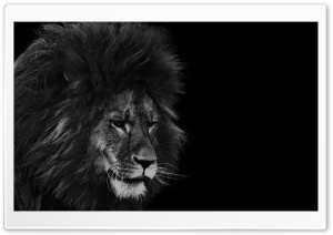 Black Lion Ultra HD Wallpaper for 4K UHD Widescreen desktop, tablet & smartphone