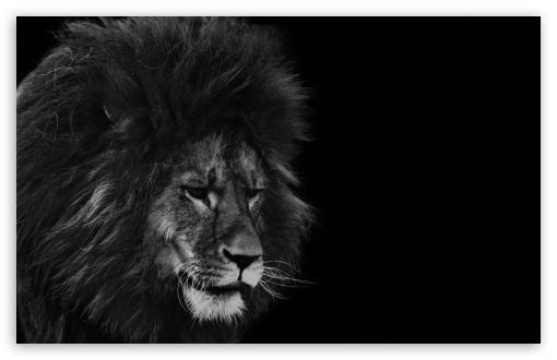 Black Lion Ultra Hd Desktop Background Wallpaper For