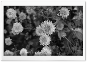 Black n White Flowers HD Wide Wallpaper for Widescreen