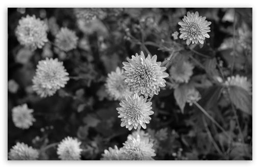 Black n white flowers ❤ 4k uhd wallpaper for wide 1610 53
