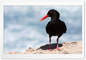 Black Oystercatcher HD Wide Wallpaper for 4K UHD Widescreen desktop & smartphone
