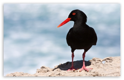 Black Oystercatcher HD wallpaper for Wide 16:10 5:3 Widescreen WHXGA WQXGA WUXGA WXGA WGA ; HD 16:9 High Definition WQHD QWXGA 1080p 900p 720p QHD nHD ; Standard 4:3 5:4 3:2 Fullscreen UXGA XGA SVGA QSXGA SXGA DVGA HVGA HQVGA devices ( Apple PowerBook G4 iPhone 4 3G 3GS iPod Touch ) ; Tablet 1:1 ; iPad 1/2/Mini ; Mobile 4:3 5:3 3:2 16:9 5:4 - UXGA XGA SVGA WGA DVGA HVGA HQVGA devices ( Apple PowerBook G4 iPhone 4 3G 3GS iPod Touch ) WQHD QWXGA 1080p 900p 720p QHD nHD QSXGA SXGA ;