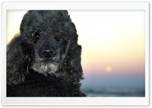 Black Poodle HD Wide Wallpaper for Widescreen