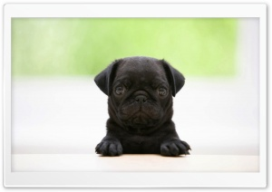 Black Pug Puppy HD Wide Wallpaper for 4K UHD Widescreen desktop & smartphone