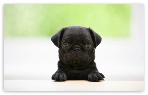 Black Pug Puppy HD wallpaper for Wide 16:10 5:3 Widescreen WHXGA WQXGA WUXGA WXGA WGA ; HD 16:9 High Definition WQHD QWXGA 1080p 900p 720p QHD nHD ; Standard 4:3 5:4 3:2 Fullscreen UXGA XGA SVGA QSXGA SXGA DVGA HVGA HQVGA devices ( Apple PowerBook G4 iPhone 4 3G 3GS iPod Touch ) ; Tablet 1:1 ; iPad 1/2/Mini ; Mobile 4:3 5:3 3:2 16:9 5:4 - UXGA XGA SVGA WGA DVGA HVGA HQVGA devices ( Apple PowerBook G4 iPhone 4 3G 3GS iPod Touch ) WQHD QWXGA 1080p 900p 720p QHD nHD QSXGA SXGA ;