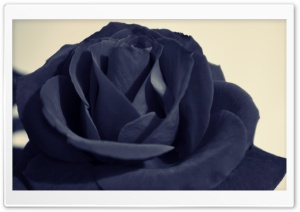 Black Rose HD Wide Wallpaper for 4K UHD Widescreen desktop & smartphone
