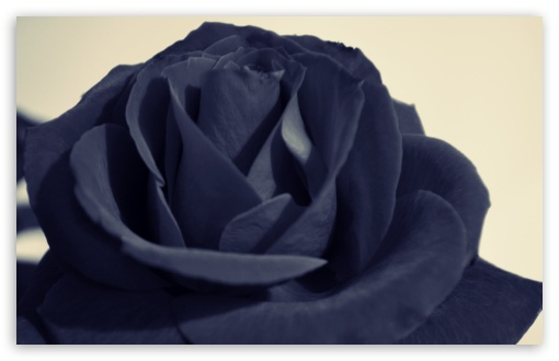 Black Rose HD wallpaper for Standard 4:3 5:4 Fullscreen UXGA XGA SVGA QSXGA SXGA ; Wide 16:10 5:3 Widescreen WHXGA WQXGA WUXGA WXGA WGA ; HD 16:9 High Definition WQHD QWXGA 1080p 900p 720p QHD nHD ; Other 3:2 DVGA HVGA HQVGA devices ( Apple PowerBook G4 iPhone 4 3G 3GS iPod Touch ) ; Mobile VGA WVGA iPhone iPad PSP Phone - VGA QVGA Smartphone ( PocketPC GPS iPod Zune BlackBerry HTC Samsung LG Nokia Eten Asus ) WVGA WQVGA Smartphone ( HTC Samsung Sony Ericsson LG Vertu MIO ) HVGA Smartphone ( Apple iPhone iPod BlackBerry HTC Samsung Nokia ) Sony PSP Zune HD Zen ; Tablet 2 Android 3 DVGA HVGA HQVGA devices ( Apple PowerBook G4 iPhone 4 3G 3GS iPod Touch ) ;
