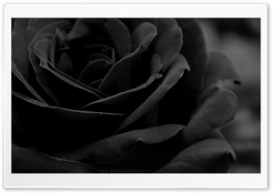 Black Rose HD Wide Wallpaper for Widescreen