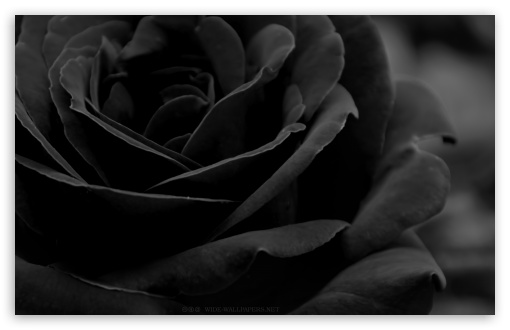Black Rose 4K HD Desktop Wallpaper For 4K Ultra HD TV