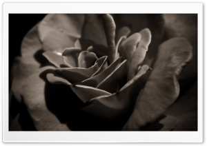 Black Rose Macro HD Wide Wallpaper for Widescreen