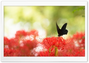 Black Swallowtail Butterfly and Red Spider Lily HD Wide Wallpaper for Widescreen