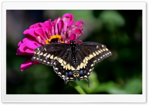 Black Swallowtail On A Zinnia Flower HD Wide Wallpaper for 4K UHD Widescreen desktop & smartphone