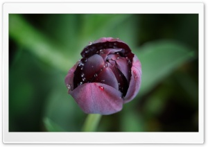Black Tulip HD Wide Wallpaper for Widescreen