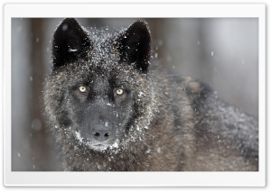 Black Wolf HD Wide Wallpaper for Widescreen
