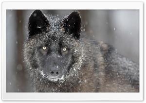 Black Wolf HD Wide Wallpaper for 4K UHD Widescreen desktop & smartphone