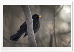 Blackbird HD Wide Wallpaper for Widescreen