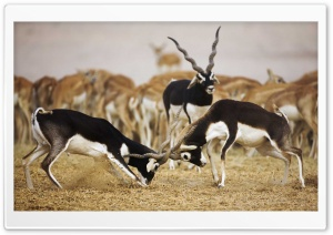 Blackbuck Antelopes HD Wide Wallpaper for Widescreen