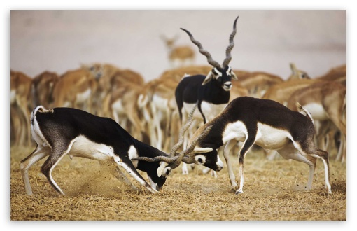 Blackbuck Antelopes ❤ 4K UHD Wallpaper for Wide 16:10 5:3 Widescreen WHXGA WQXGA WUXGA WXGA WGA ; 4K UHD 16:9 Ultra High Definition 2160p 1440p 1080p 900p 720p ; Standard 4:3 5:4 3:2 Fullscreen UXGA XGA SVGA QSXGA SXGA DVGA HVGA HQVGA ( Apple PowerBook G4 iPhone 4 3G 3GS iPod Touch ) ; iPad 1/2/Mini ; Mobile 4:3 5:3 3:2 16:9 5:4 - UXGA XGA SVGA WGA DVGA HVGA HQVGA ( Apple PowerBook G4 iPhone 4 3G 3GS iPod Touch ) 2160p 1440p 1080p 900p 720p QSXGA SXGA ;