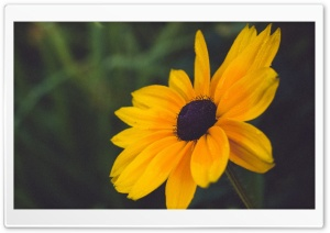 Blackeyed Susan Flower HD Wide Wallpaper for Widescreen