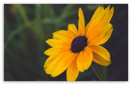 Blackeyed Susan Flower ❤ 4K UHD Wallpaper for Wide 16:10 5:3 Widescreen WHXGA WQXGA WUXGA WXGA WGA ; 4K UHD 16:9 Ultra High Definition 2160p 1440p 1080p 900p 720p ; Standard 4:3 5:4 3:2 Fullscreen UXGA XGA SVGA QSXGA SXGA DVGA HVGA HQVGA ( Apple PowerBook G4 iPhone 4 3G 3GS iPod Touch ) ; Smartphone 5:3 WGA ; Tablet 1:1 ; iPad 1/2/Mini ; Mobile 4:3 5:3 3:2 16:9 5:4 - UXGA XGA SVGA WGA DVGA HVGA HQVGA ( Apple PowerBook G4 iPhone 4 3G 3GS iPod Touch ) 2160p 1440p 1080p 900p 720p QSXGA SXGA ;