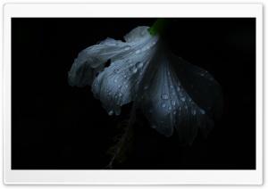 BlackWhite Flower Ultra HD Wallpaper for 4K UHD Widescreen desktop, tablet & smartphone