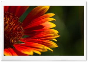 Blanket Flower HD Wide Wallpaper for Widescreen